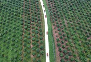 An aerial photo of a palm oil plantation in Batanghari, Jambi province, Sumatra island, Indonesia, 28 November 2018 (Photo: Reuters/Antara Foto/Wahdi Septiawan).