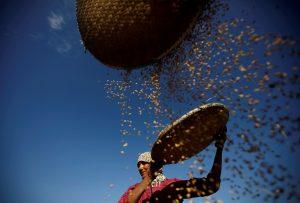 A farmer harvests rice on a field in Lalitpur, Nepal 15 November, 2019 (Photo: Reuters/Chitrakar).
